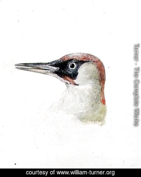 Woodpecker, from The Farnley Book of Birds, c.1816