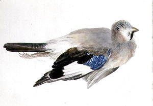 Turner - Jay, from The Farnley Book of Birds, c.1816
