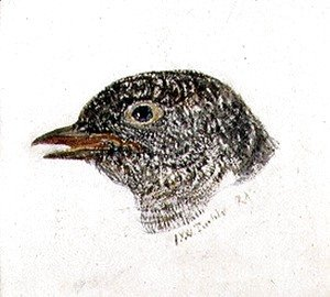 Turner - Cuckoo, from The Farnley Book of Birds, c.1816
