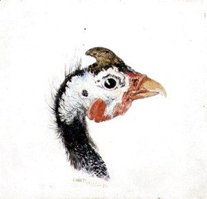 Turner - Guinea Fowl, from The Farnley Book of Birds, c.1816